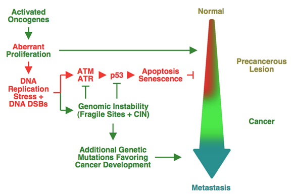 Figure 1. Model for oncogene-induced DNA replication stress in human cancers selecting for p53 mutations and driving genomic instability.