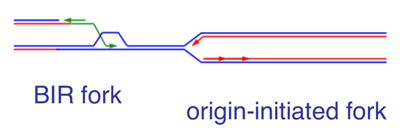 Figure 3. Comparison of BIR-initiated and origin-initiated forks. BIR-initiated forks retain the D-loop formed during strand invasion and replicate DNA in a conservative manner.