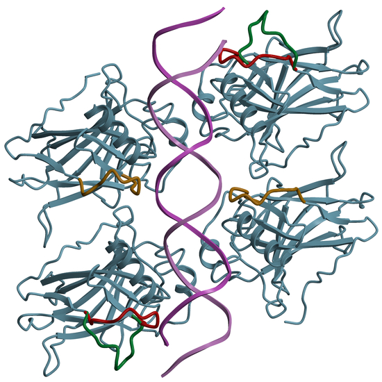 Figure 5. Structure of a human p53 tetramer bound to specific DNA.