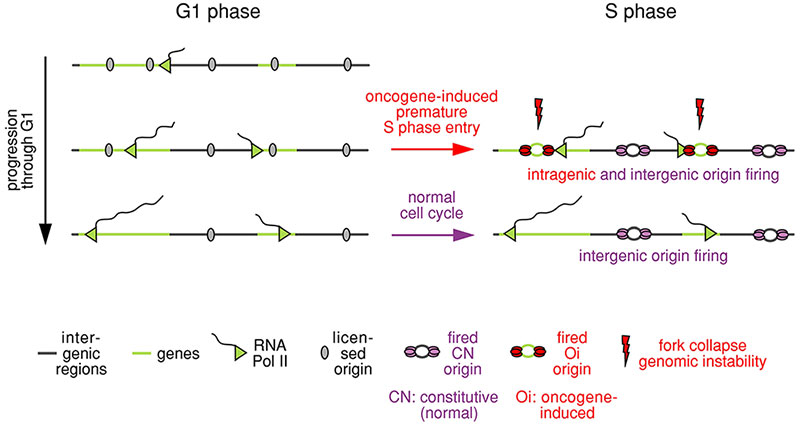 Figure 2. Mechanism to explain how oncogenes induce DNA replication stress.