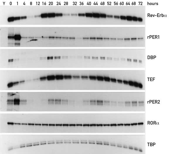 Figure 1. Accumulation of various circadian mRNAs in serum-shocked rat-1 fibroblasts